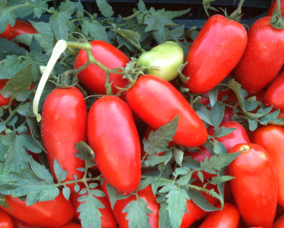 Pomodoro S. Marzano dell'Agro Sarnese Nocerino D.O.P